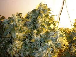1000w grow