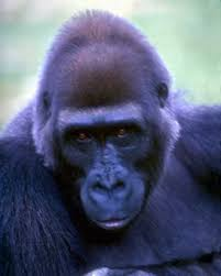 gorilla animals