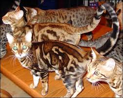 marble bengal cats