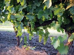 grape vine picture