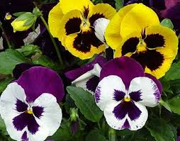pansy plant