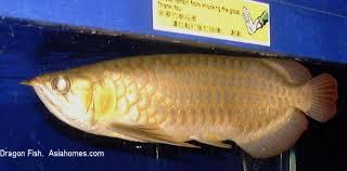 dragon fishes