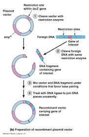 gene vector