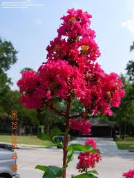 crape myrtle bush
