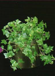 hedera plants