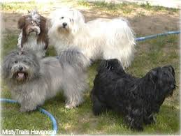 havanese colors