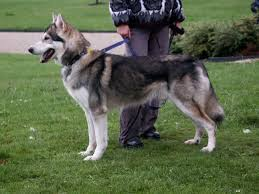 alaskan malamute german shepherd