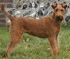 irish terrier photos