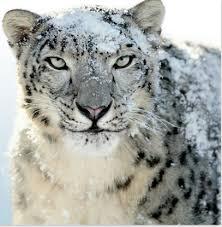 endangered species snow leopard