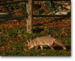 fox habitat