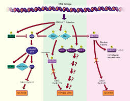 dna damage checkpoint