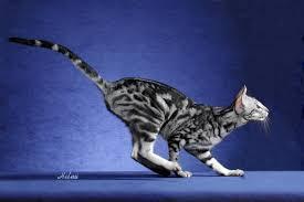 Étoile Sombre---Lumière---Femelle Oriental-shorthair-cat-leaping