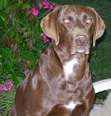 german shorthaired dog
