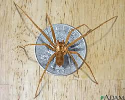 brown lacrus spider