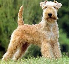 lakeland terrier pictures