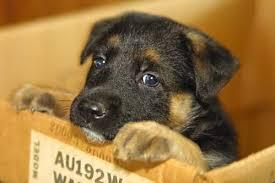 box puppy