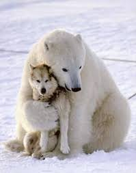 funny polar bears pictures