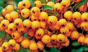 pyracantha plants