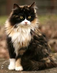 calico cats for sale