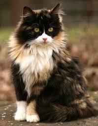 IMAGE(http://t0.gstatic.com/images?q=tbn:klosl-C7jg7ReM:http://www.cats-central.com/cat-pictures/images/calico-cat-3.jpg)
