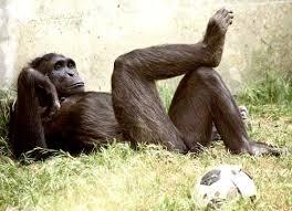 pet chimp