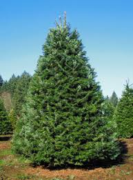 grand fir christmas tree