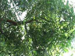 cinnamomum camphor