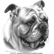 drawing of bulldog