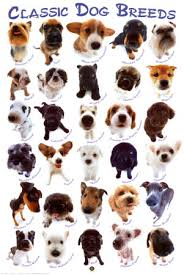 akc dog breeds pictures