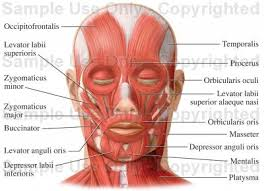 muscles in the human face
