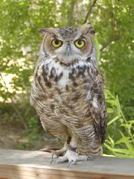 great horned owl images