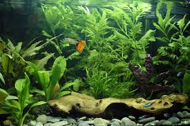 freshwater aquarium livestock