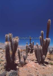 plants in the atacama desert