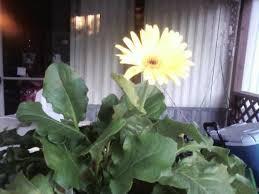 gerber daisy plant