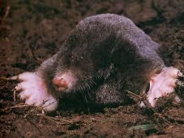 mole underground
