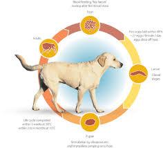 dog flea life cycle