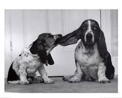 photos of basset hounds