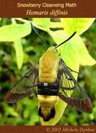 hummingbird butterfly