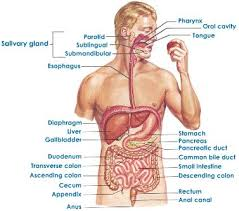 digestive system human
