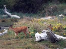 columbia blacktail deer