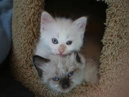 munchkin kittens for adoption