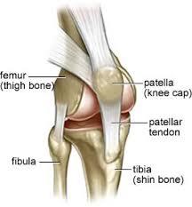 knee anatomy tendons
