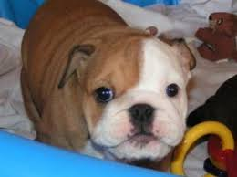english bulldog for adoption