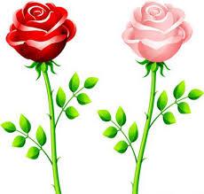 red pink rose