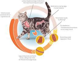 hookworm cat