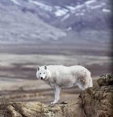 arctic wolf photos