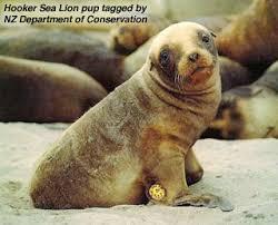 endangered sea lions
