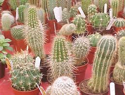 cacti pictures