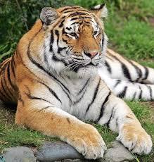 endangered species tiger