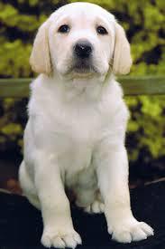 labrador retriever white